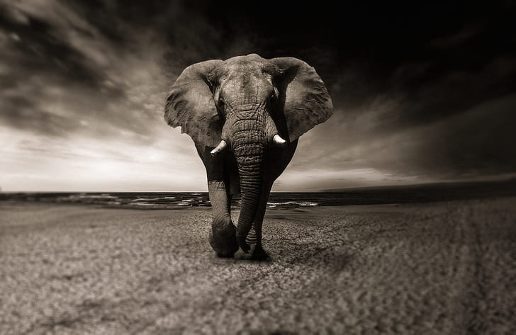 Royalty-Free photo: Grayscale photo of elephant | PickPik