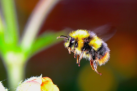 yellow and black bumblebee in flight