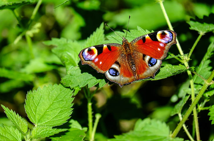 peacock butterfly on green leaf plant