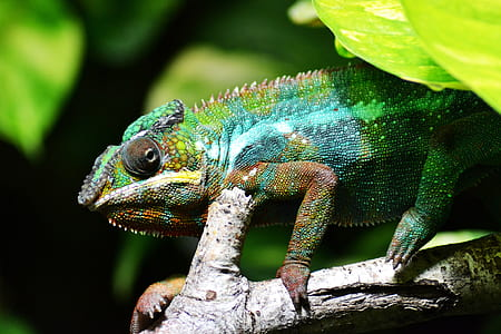 green and blue chameleon