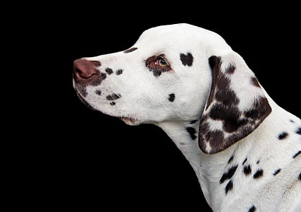 closeup photo of adult liver and white Dalmatian