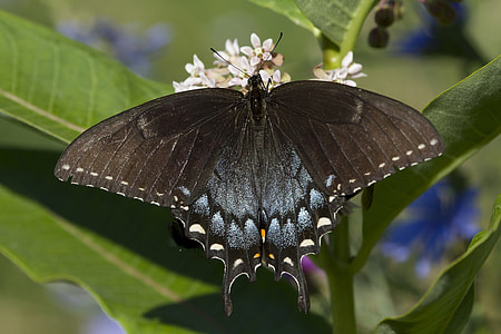 blue and black swallowtail butterfly on white petaled flowers