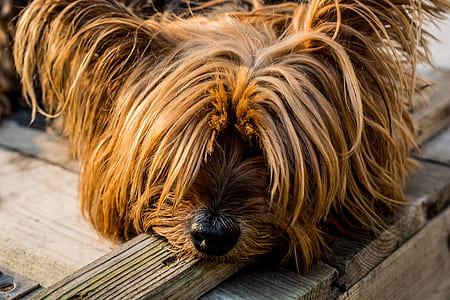 lying adult tan and black Yorkshire terrier on wooden ground
