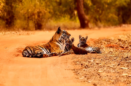 photography of brown an brown tiger with cubs