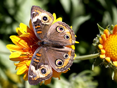 shallow focus photography of common buckeye butterfly sits on orange flower during daytime