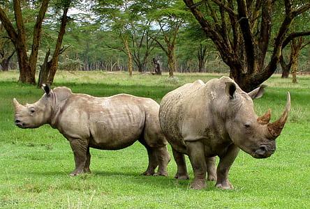 two Rhinoceros standing on grass fiels