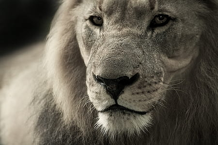 greyscale photo of lion