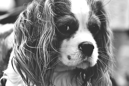 adult cavalier King Charles in gracyscale photography