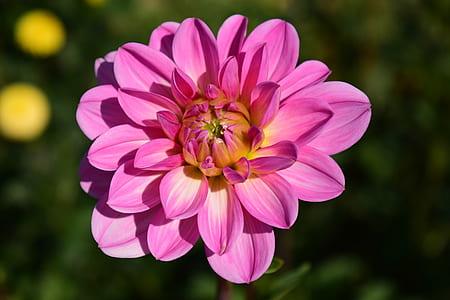 selective focus pink petaled flower in full bloom