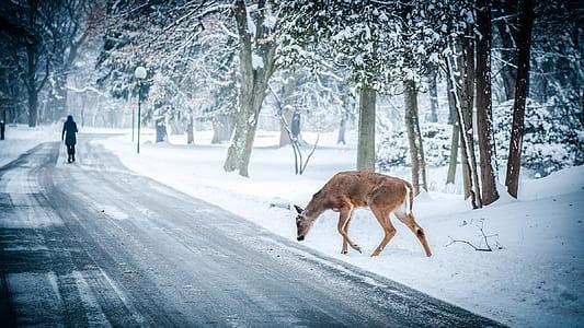 brown deer walking in side road