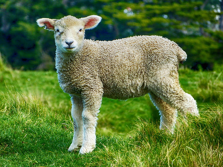 selective focus photograph of sheep