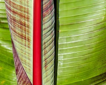 banana leaf, green, shiny, plant, leaf, rolled