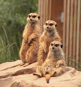 three brown meerkats