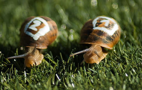 two brown snails on grass