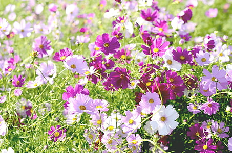 pink and purple petaled flower field