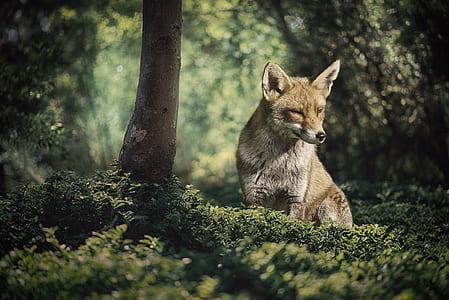 fox standing on grass field
