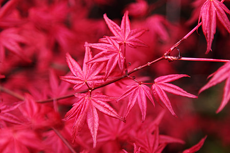 selective focus photography of red maple leaf