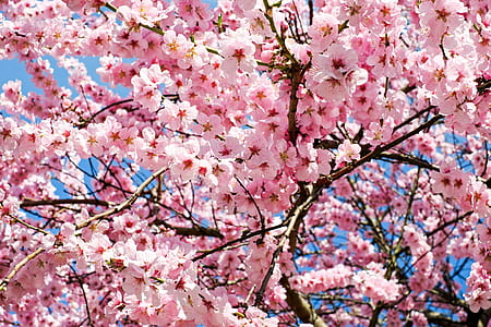 shallow focus photography of cherry blossoms tree