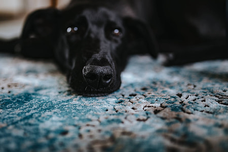 Black dog on a light blue carpet