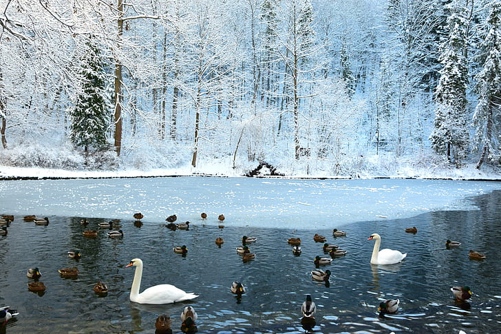 flock of duck and two swan on calm water during winter