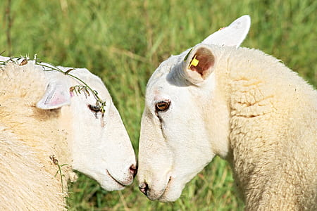 two white lambs outdoor
