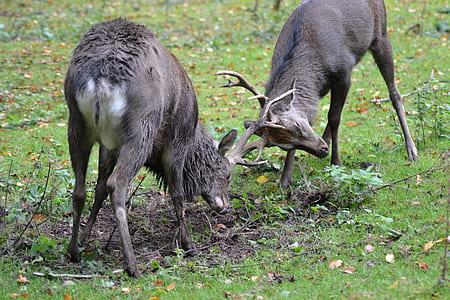 2 Reindeer on Grass Field