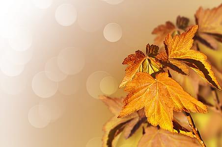 bokeh photo of brown palmate leaves