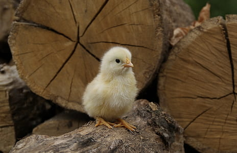 selective focus photography of yellow chick on brown wood log
