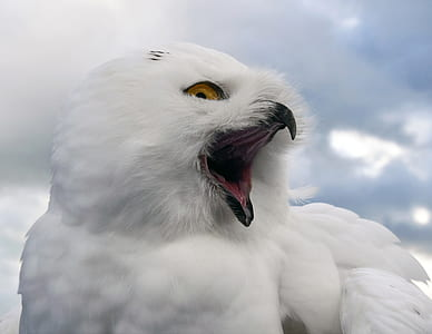 close up photo of snow owl