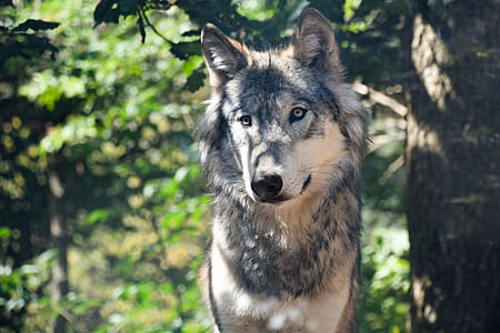 depth of field photography of black and tan wolf