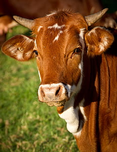 brown and white cow photography