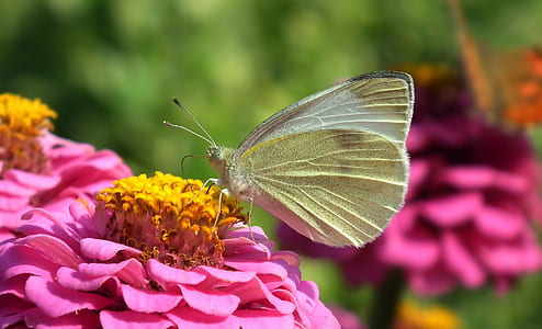white sulfur butterfly on pink flower during daytime