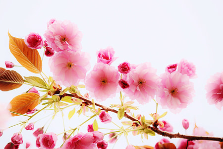 closeup photography of pink blossoms