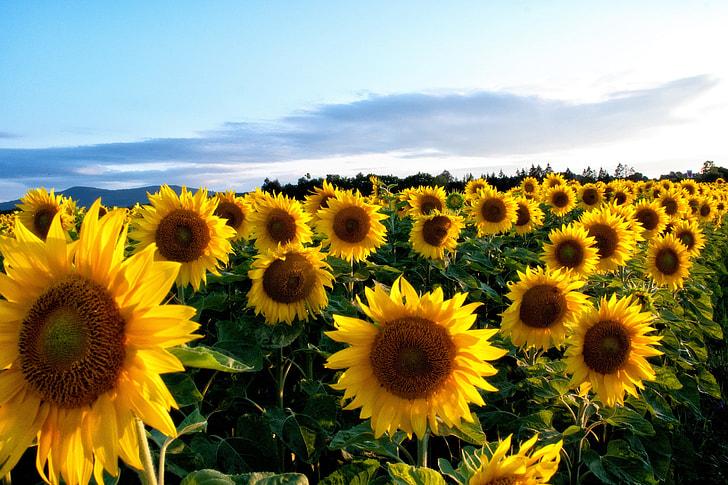 Royalty Free Photo Sunflower Field Pickpik