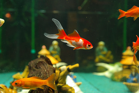 red and orange fishes in fish tank