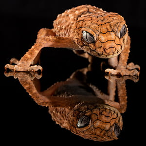 photo of brown leopard gecko
