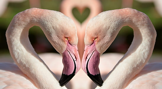 two pink Flamingo swans at daytime