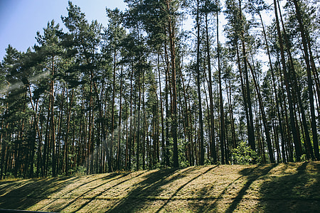 Pine trees in a wood with dappled sunlight