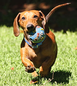 photo of red smooth dachshund on grass field