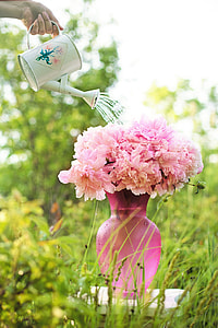 person holding watering can and pink flowers with pink glass vase at daytime