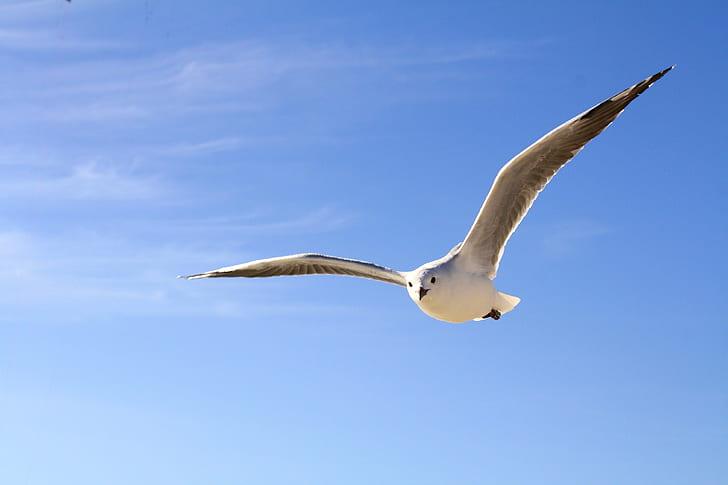 black-billed gull flying at daytime