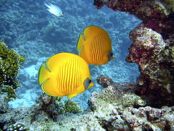 two yellow fish