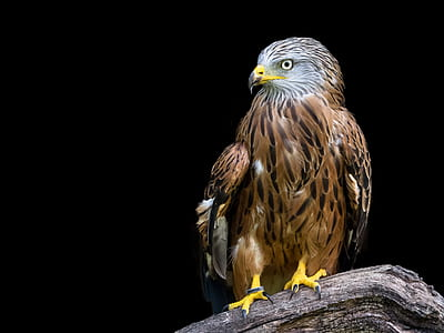 photo of brown eagle