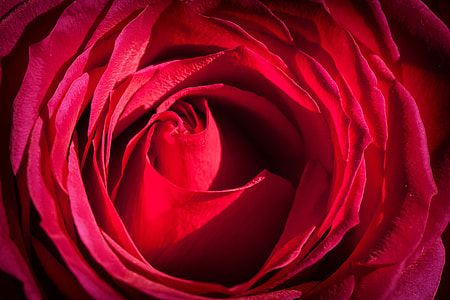 Close-up macro shot of a red rose flower