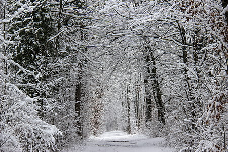 plain pathway between snow covered tress