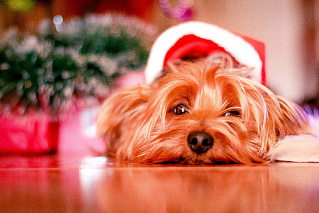 brown Yorkshire terrier resting on floor