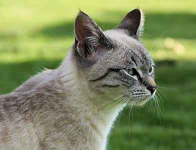 beige and gray Siamese cat