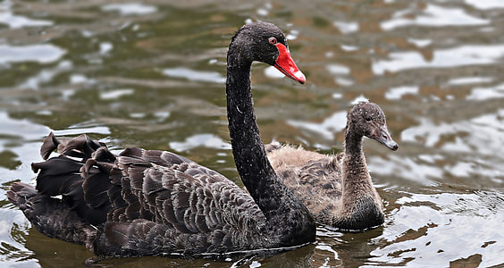 two black and brown swans