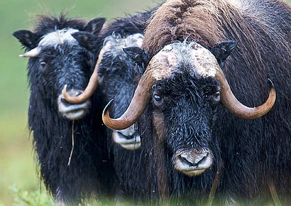 three black yaks