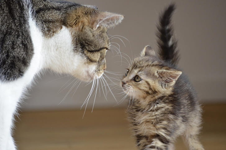 black and gray tabby cat looking at gray kitten